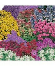 COLLECTION 10 ALPINE + PERENNIALS PLUG PLANTS FOR ROCKERY BEDS, GROW YOUR OWN