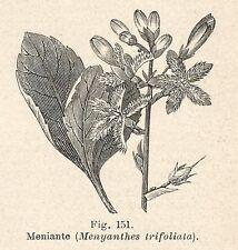 B1539 Menyanthes trifoliata - Incisione antica del 1928 - Engraving