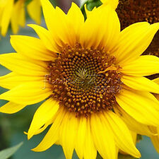 20 DWARF SUNFLOWER Seeds Plants Like the Sun Easy Seed Starting Flower