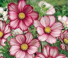 Cosmos- Candy Stripe- 100 Seeds - 50 % off sale
