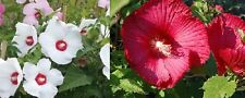 Hardy Hibiscus - Mixed Colors - Perennial - 15 Seeds - Easy to grow! red, white