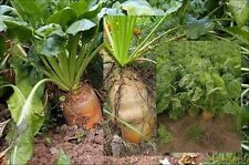 Giant yellow beet 1000 seeds + 100 free organic beets tender and sweet