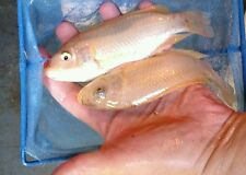 25 + Live Hawaiian gold tilapia fry ( 1/4 to 1/2 inch ) for Aquaponics.