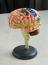 A small Human Brain Skull Anatomical New Anatomy Learning Models Medical Body