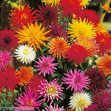 25 Seeds Dahlia Cactus Flower Hybrids Mixed Seeds spiky blooms vibrant colours