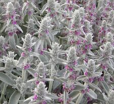 Lambs Ear Seeds 100 Seeds Perennial Deer Resistant Flower