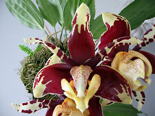 Stanhopea Species ´Devils Goliath` Duft Selection Orchidee Orchideen
