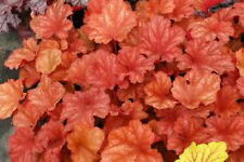 HEUCHERA PAPRIKA Bright Orange to Burgandy Foliage PLUG PLANT