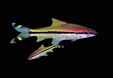 2 Puntius Denisoni Roseline Shark Live Fish Freshwater Aquarium 2-3 inch Long