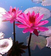 Zubehör Teich : Tropische violette Seerose Nymphea für den Gartenteich ☼ Samen ☼