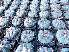 1 PIANTA Echinocactus horizonthalonius (5cm) blue cactus no ariocarpus aztekium