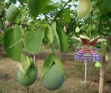 PASSIFLORA MALIFORMIS - SWEET CALABASH, 50 HIGH QUALITY SEEDS