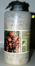 Micelio Fresco di Fungo (un barattolo da lt.2,5): Pioppino- SOLO SU ORDINAZIONE