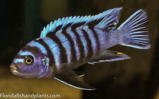 (1) Cynotilapia afra white Top 2 inch African Cichlid Live fish