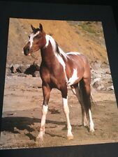 """Pinto Horse Large 16"""" X 20"""" Picture Print New In Lithograph"""