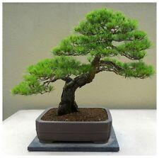 10 semillas Pinus densiflora, pino rojo de Japón , semillas bonsai S