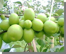 Thai Jujube 10 seeds Tropical Fresh Fruit Ziziphus Jujuba Mill. large size