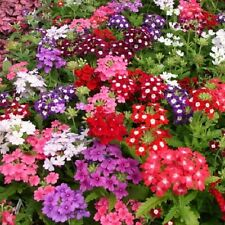 50 Verbena Seeds Obsession Mix Verbena Seeds