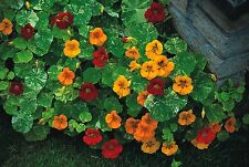 Flower - Nasturtium - Tom Thumb Alaska Mixed - 60 Seed
