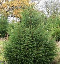 20 Norway Spruce Christmas Trees 40-60cm,Quick Growing  Evergreen Plants 1-2ft