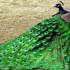 100pcs Nice Real Natural Peacock Tail Eyes Feathers 8-12 Inches/about 23-30cm
