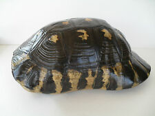 COMPLETE ~ ELONGATED TORTOISE SHELL - (Testudo Marginata) ~ TAXIDERMY