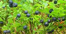 20 BILBERRY Fruit Shrub European Blueberry Vaccinium Myrtillus Seeds + Free Gift