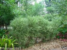 Rare Imported Malay dwarf Bamboo , Bambusa glaucophylla  - 20 seeds pack