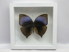 Oakleaf Papillio - 3D Box Taxidermie réel Papillon Naturalise 17x17cm