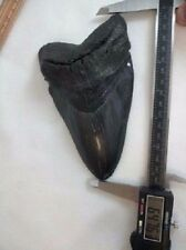 """MASSIVE 6 + / 6.476""""  Megalodon Fossil Shark Tooth WEIGHS OVER A POUND 19+ oz."""