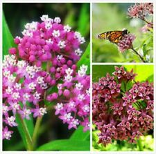 ON SALE Milkweed-Butterfly Perennial-buy 2 GET 1 free-the-Monarch-butterfly!