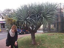 Seltene Yucca torreyi winterhart - für den Garten - buschig - bis 6 Meter hoch