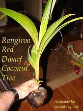 ~RED TAHITI RANGIROA~ RARE DWARF COCONUT 2-3+ft TREE Ready to PLANT! FREE SHIP
