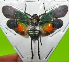 Peleng Island Lanternfly Cicada Penthicodes farinosa peleng Spread FAST FROM USA