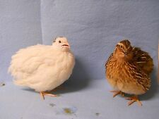 100 + variety jumbo brown and  texas A&M Coturnix Quail Hatching Eggs