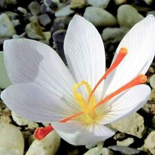 Saffron Seeds,saffron Flower Seeds In Bloom All Year Round