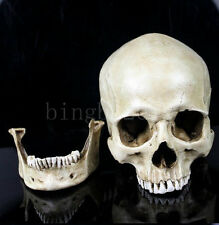 Small Human Skull Replica Resin Model Medical Realistic new 11X7X8.5cm White