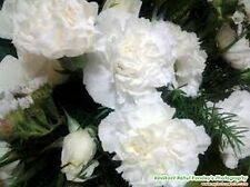 Carnation (Dianthus Caryophyllus Grenadin) - White -50 Seeds