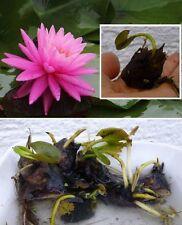 Bonsai Seerose Rosenymphe / Dekoidee für das Aquarium den Zimmerbrunnen Schale