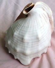 "Seashell King Helmet cassis tuberosa 5 3/4"" X 5"" For display,Aquarium,Table"