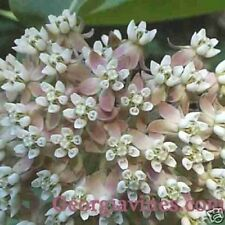 Asclepias syriaca or Virginian Silk (Monarch Host Plants) 40 seeds