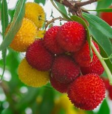 Strawberry Tree, ARBUTUS UNEDO exotic fruit rare flowering madroño seed 15 SEEDS