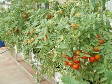 High Yield Tomato Organic Pusa Ruby Seeds for Terrace Kitchen Gardening  50 Nos