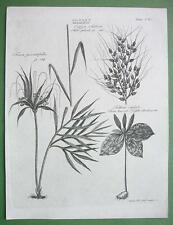 BOTANY Arrowroot Nightshade Rice Plant - 1810 Copperplate Engraving Print