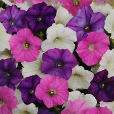 25 Pelleted Petunia Seeds Shock Wave Mix Spark trailing petunia