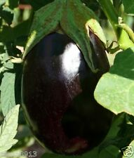 "Eggplant ""Black Beauty"" seeds (20 seeds) Lot of 1 pcs"