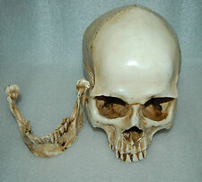 Resin Replica1:1 Life Human Anatomy Skull Skeleton Medical Party Model White