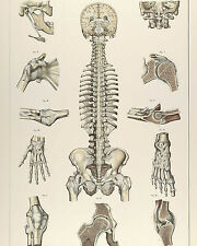 Vintage Medical Anatomy Chart Skeletal System Illustration Canvas Art Print