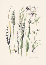 Brandpilze Ustilaginales Farbdruck von 1965 Pflanzenkrankheiten Mykologie Pilze