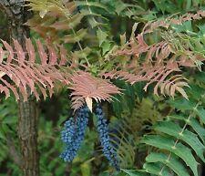 Mahonia lomariifolia - Rare architectural evergreen shrub in 9cm pot